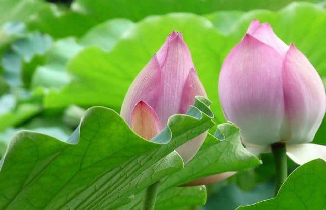 Ý nghĩa hoa sen hồng