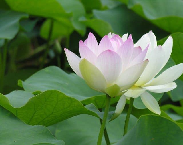 Ý nghĩa của hoa sen trắng