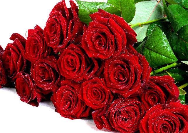Hoa hồng nhung