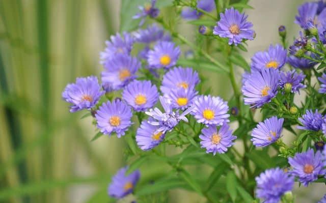 Hoa thach thao xanh