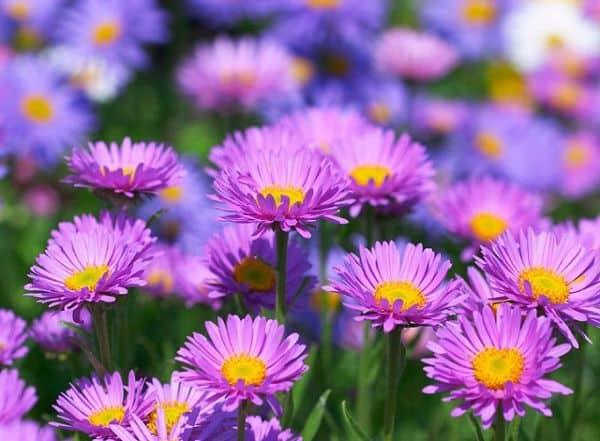 Chiêm ngưỡng vẻ đẹp loài hoa thạch thảo