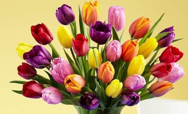 Hoa tulip dành tặng mẹ 20-10