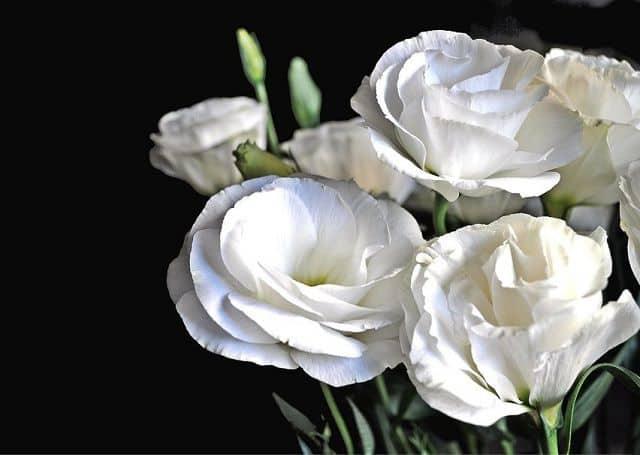 Hoa cát tường trắng