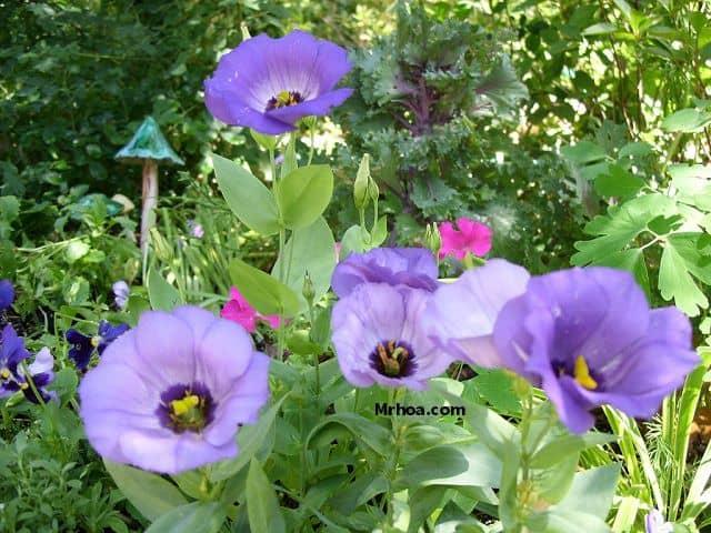 Khóm hoa lan tường đẹp