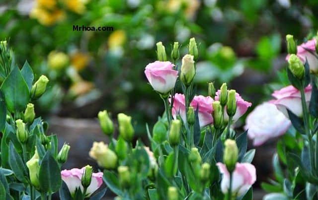 Ý nghĩa của hoa lan tường