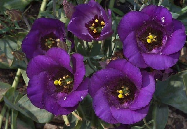 Hoa cát tường màu tím