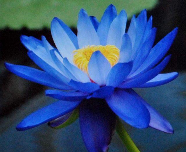Ý nghĩa hoa sen xanh
