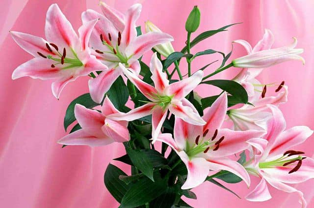 hình ảnh đẹp và ý nghĩa hoa ly 10