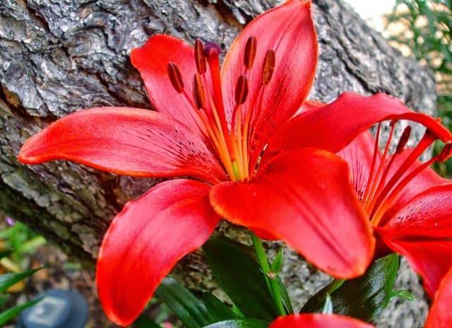 hình ảnh đẹp và ý nghĩa hoa li