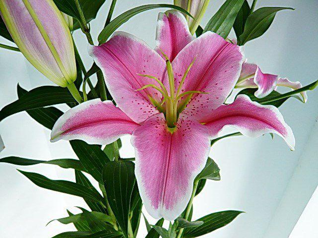 hình ảnh đẹp và ý nghĩa hoa ly 4