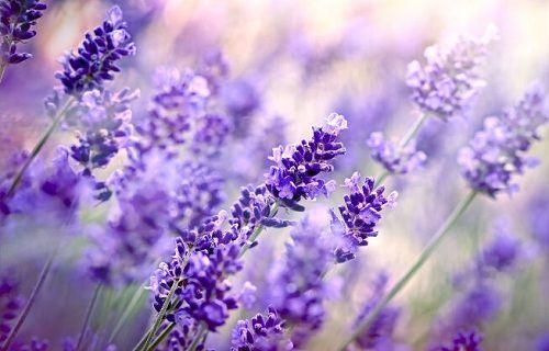 hinh anh dep va y nghia hoa oai huong 7