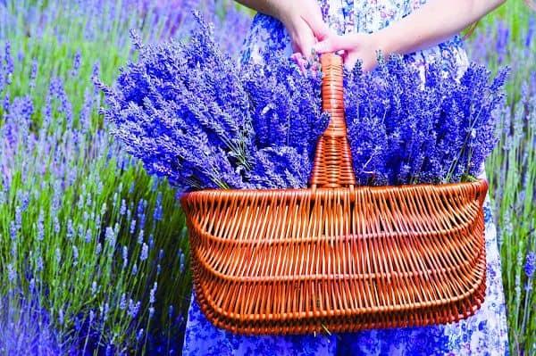 hinh anh dep va y nghia hoa oai huong 16