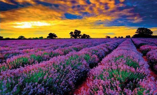 hinh anh dep va y nghia hoa oai huong 2