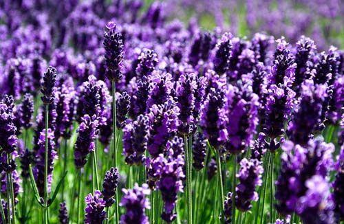 Hình ảnh đẹp và ý nghĩa hoa oải hương