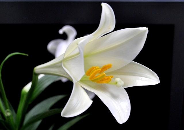 Hình ảnh đẹp và ý nghĩa hoa huệ 1