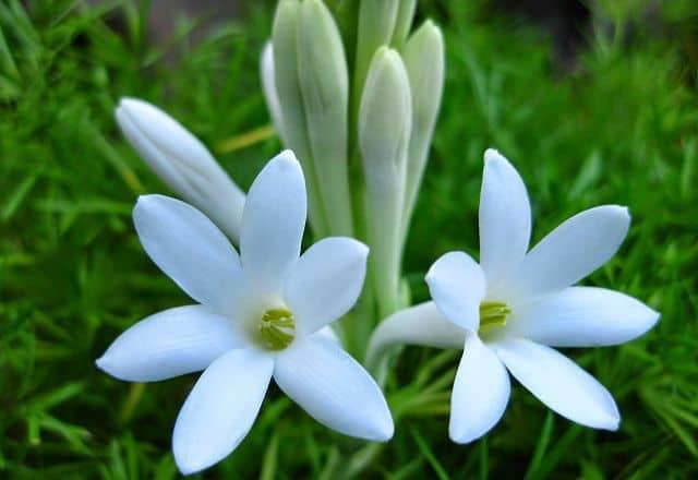 ảnh đẹp hoa huệ trắng