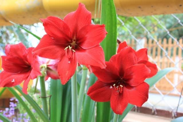 hình ảnh đẹp và ý nghĩa hoa huệ 6