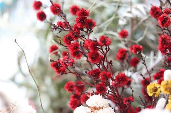 hoa baby đỏ