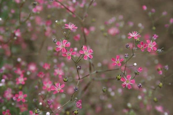 hoa baby tím đẹp nhất