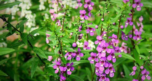 Hoa ngọc hân