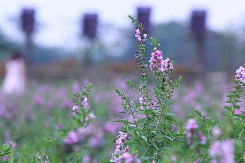 hoa ngọc hân tím