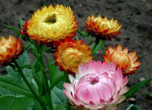 hoa bất tử đẹp ý nghĩa