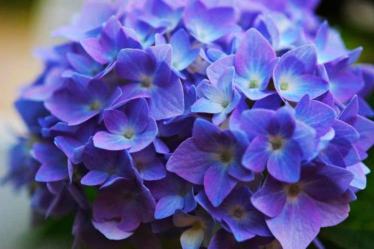 Hoa cam tu xanh tim