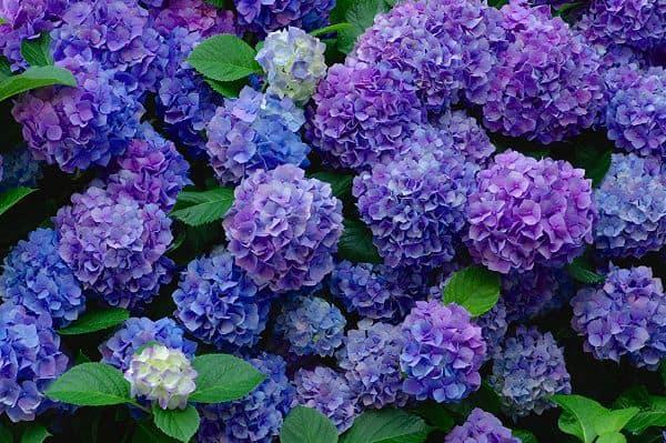 Bụi hoa cẩm tú cầu đẹp