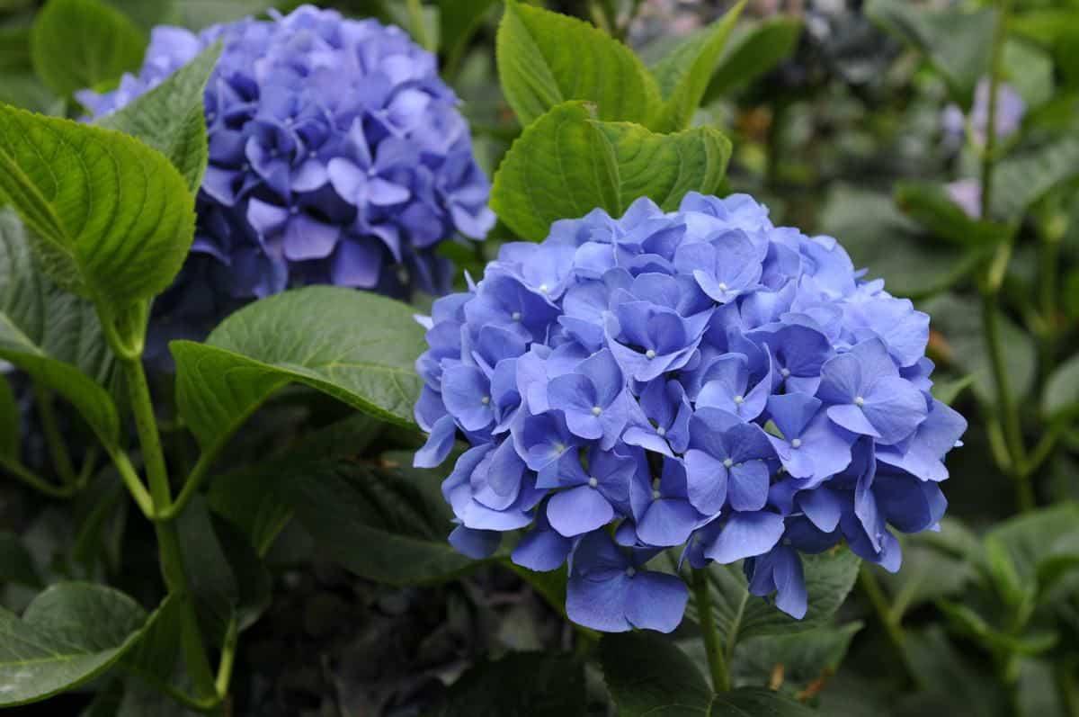 Bông hoa cẩm tú cầu màu xanh tím