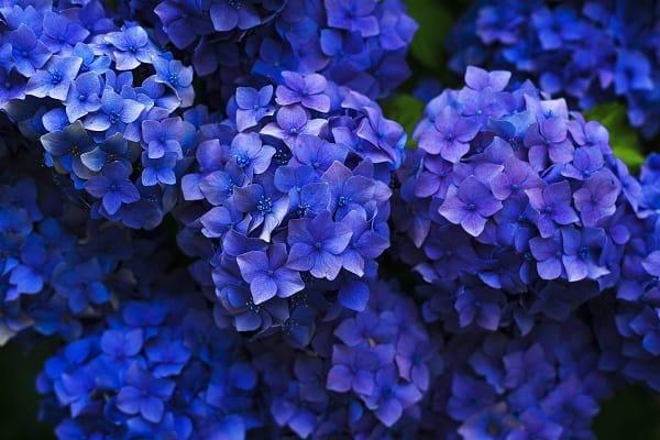 Những bông hoa cẩm tú màu tím