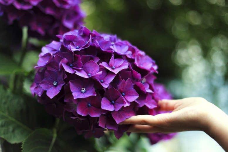 Bông cẩm tú màu tím to và đẹp