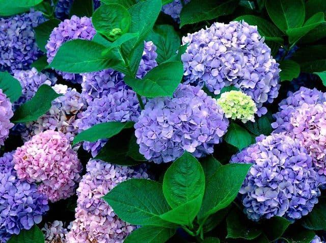 Hoa cẩm tú cầu màu tím
