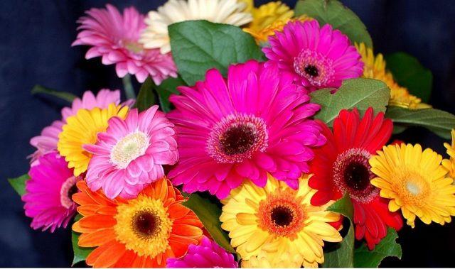 hoa đồng tiền nhiều màu sắc