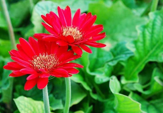 trồng và chăm sóc hoa đồng tiền