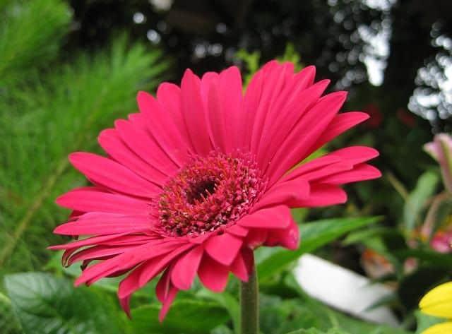 Bông hoa đồng tiền đỏ