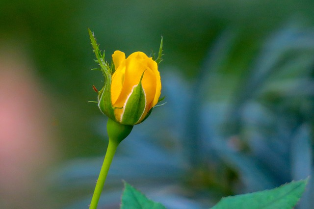 hoa hồng vàng đẹp