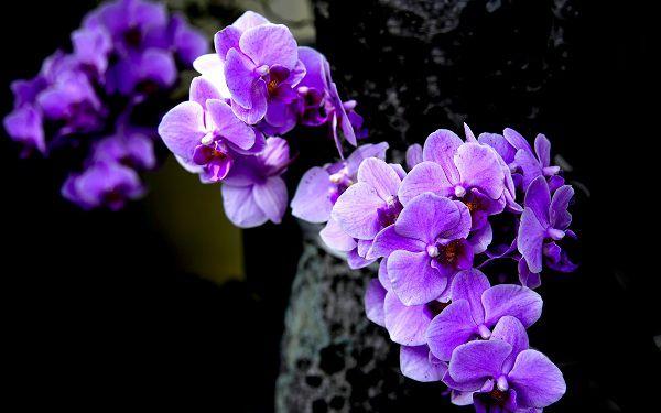 cay hoa lan mau tim