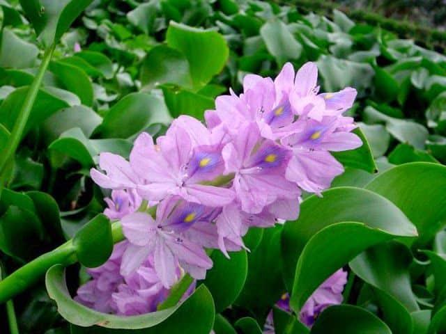 Hoa màu tím lục bình đẹp