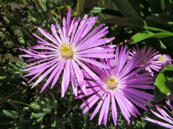 Hoa mười giờ màu tím