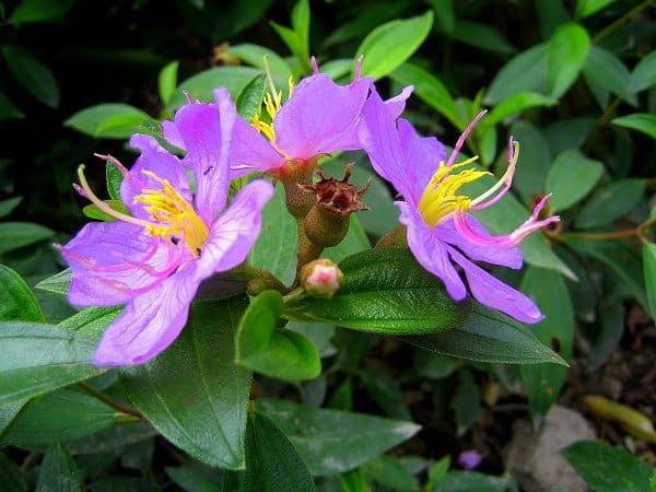 Hoa mua dại màu tím
