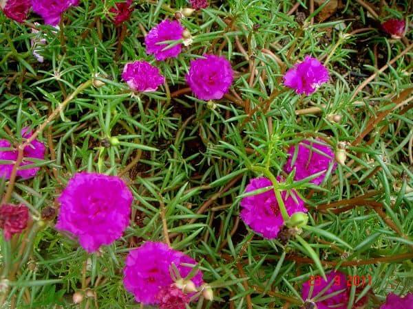 Hoa mười giờ tím đẹp