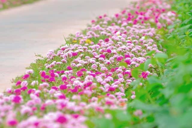 Con đường trồng hoa mười giờ