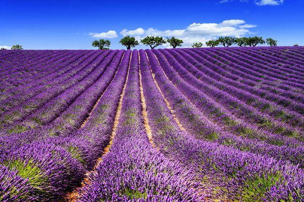 Hoa lavender tim