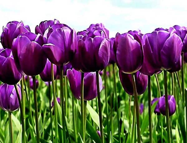 Hoa màu tím dep 11