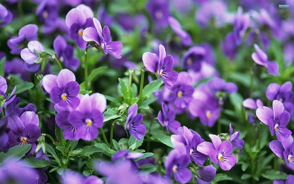 Hoa Violet tim