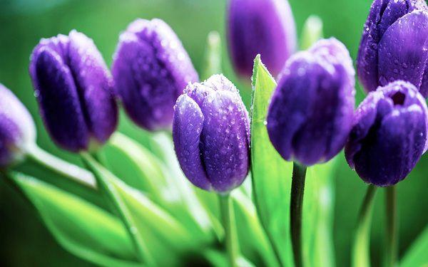 Hoa mau tim tulip dep