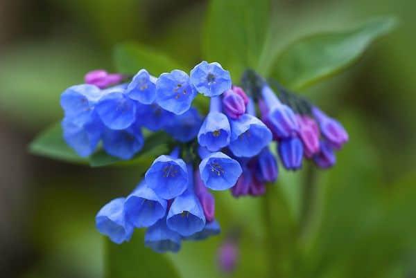 Hoa chuông xanh