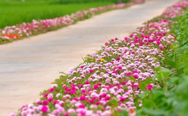 Con đường hoa mười giờ 4