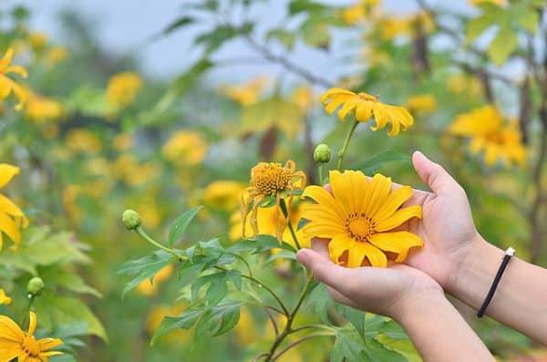 con đường hoa dã quỳ đà lạt 1