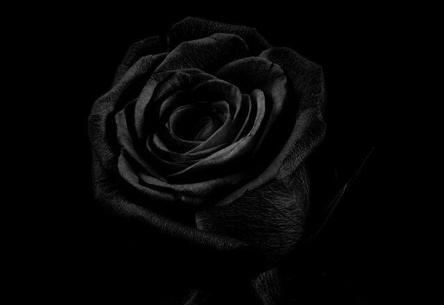 ý Nghĩa Hoa Hồng đen Và Những Hình ảnh đẹp Mrhoacom